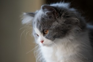 Chaton British Longhair bleu et blanc