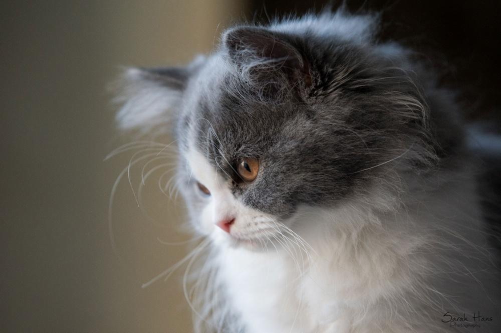 Le British Longhair British Longhair Des Perles De Satin