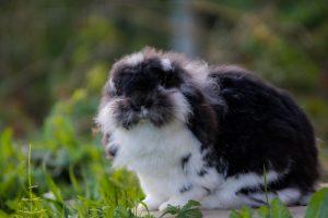 Luna, lapine bélier noire et blanche