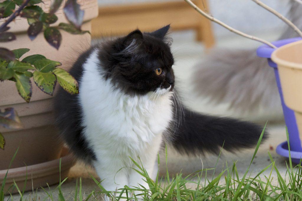 British Longhair chaton illustrant la cardiomyopathie hypertrophique du chat